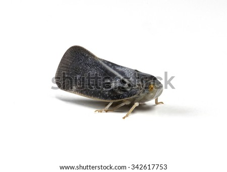 A cute Citrus Flatid Planthopper photographed in beautiful detail against a white background. - stock photo