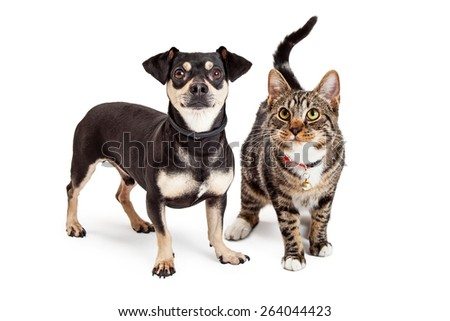 A cute Dachshund and Chihuahua mixed breed dog and a striped tabby cat standing together and looking up - stock photo