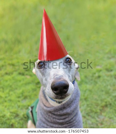 a cute dog in a local park with a birthday hat on - stock photo