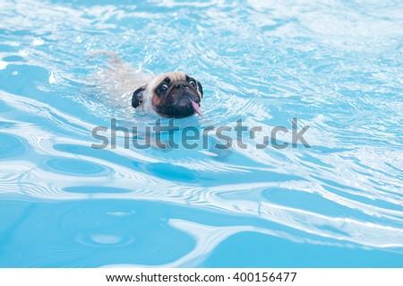 a cute dog Pug swim at a local public pool - stock photo