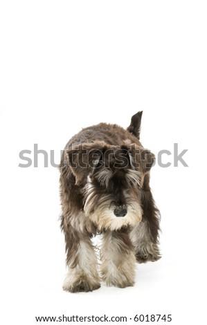 A cute dog walking around the studio - stock photo