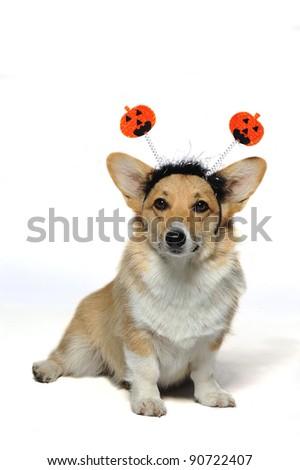 A cute dog wearing a pumpkin headband looking vertical - stock photo