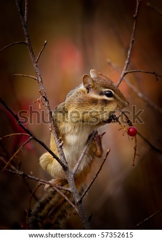 A cute Eastern chipmunk, Tamias striatus, is perched on a branch, stuffing its cheeks with red wild berries - stock photo