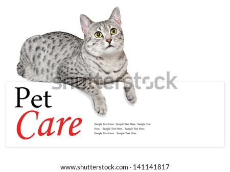 A cute Egyptian Mau cat is relaxing over an edge. White background. - stock photo
