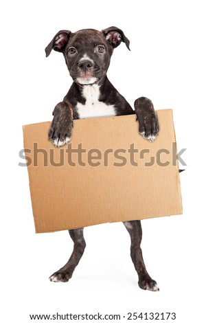 A cute four month old Staffordshire Bull Terrier Puppy Mixed Breed Puppy standing on hind legs holding a blank cardboard sign - stock photo