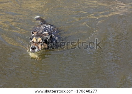 A cute German Shepherd Mix breed puppy dog is swimming in lake water on a summer day. - stock photo
