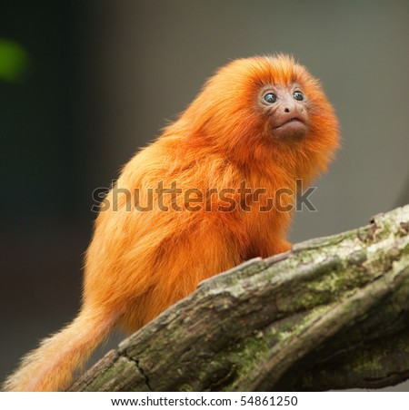 A cute golden lion tamarin baby (Leontopithecus rosalia) - stock photo