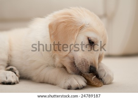 A cute golden retriever puppy on a sofa, biting something. - stock photo