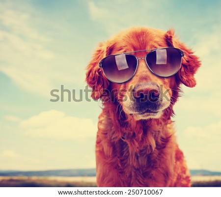 a cute golden retriever toned with a retro vintage instagram filter with sunglasses on - stock photo
