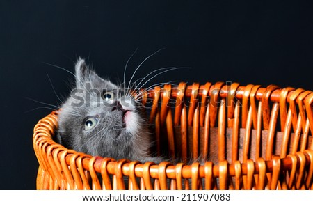 A cute grey kiten playing in a basket on an isolated black background - stock photo