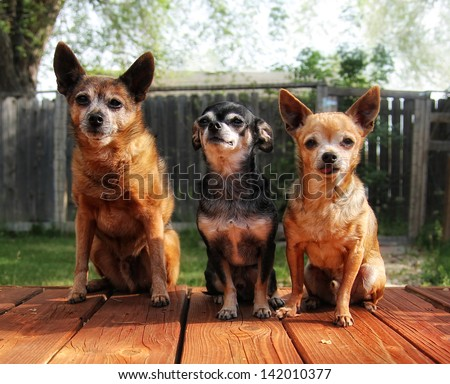 a cute group of chihuahuas - stock photo