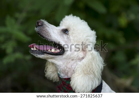 A cute happy poodle dog is smiling with a nicely blurred outdoor green background - stock photo