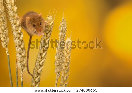 A cute harvest mouse climbing on wheat isolated on a coloured background - stock photo