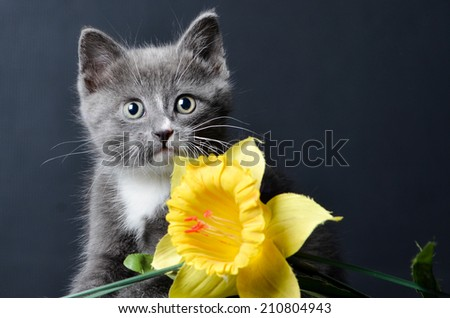 a cute kitten or cat playing with a yellow flower on an isolated black background - stock photo