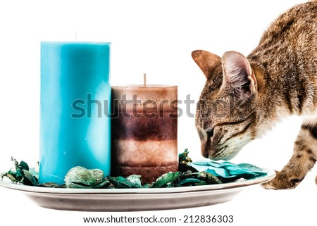 a cute kitten sniffing some scented candles isolated over a white background - stock photo