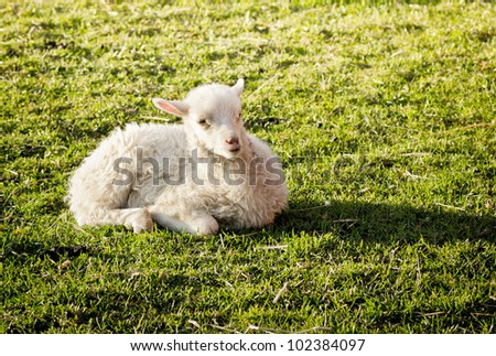 A cute lamb lying in the grass on a farm outside Stockholm, Sweden - stock photo