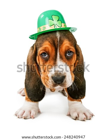 A cute little Basset Hound breed puppy dog wearing a green St. Patrick's Day themed hat - stock photo