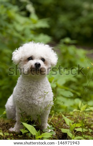 A cute little Bichon Frise female with beautiful expression in her head is sitting in the gree wood. - stock photo