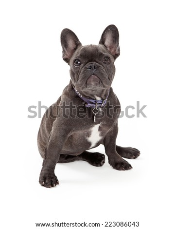A cute little blue color  French Bulldog wearing a purple collar sitting and looking up - stock photo