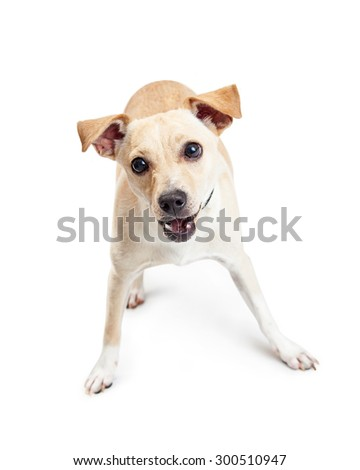 A cute little Chihuahua crossbreed dog in a playful stance with a happy expression and mouth open - stock photo