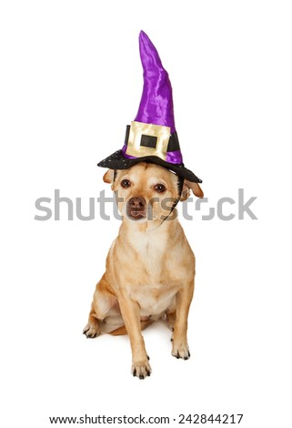 A cute little Chihuahua mixed breed dog sitting and wearing a witch hat - stock photo