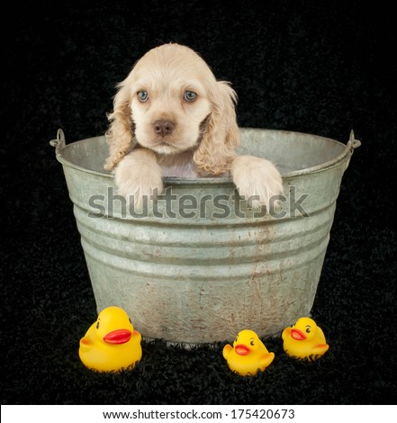 A cute little Cocker Spaniel puppy sitting in a bath tub with rubber duckies on a black background. - stock photo