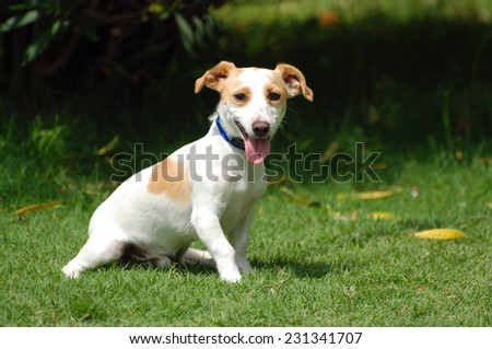 A cute little crossbred Jack Russell dog sitting on the lawn and staring in front of blurry green background. - stock photo