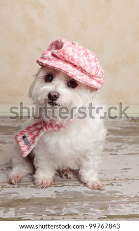 A cute little dog wearing trendy country style fashion, sits on a distressed wooden floor. - stock photo