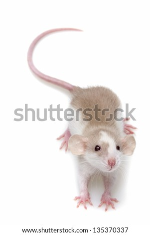 a cute little mouse on white background - stock photo