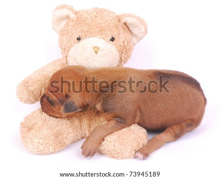 A cute little newborn Rhodesian Ridgeback hound dog puppy sleeping on a happy smiling teddy bear toy. Image isolated on white studio background. - stock photo