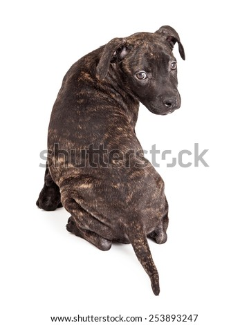 A cute little Pit Bull mixed breed puppy with a brindle coat sitting facing away and turning head to look back - stock photo