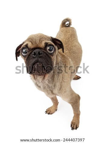 A cute little Pug breed dog with a sad expression looking up - stock photo