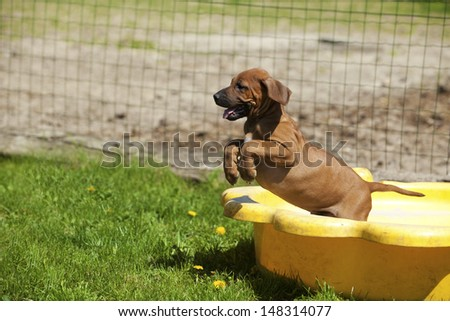 A cute little Rhodesian Ridgeback Puppy is playing outside andjumps out of a yellow shell - stock photo