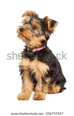 A cute little Teacup Yorkie puppy sitting down and to the side - stock photo