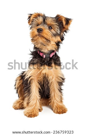 A cute little Teacup Yorkshire Terrier dog with a pink collar sitting and looking up - stock photo