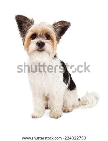 A cute little Yorkshire Terrier and Shih Tzu mixed breed dog sitting with a happy expression - stock photo