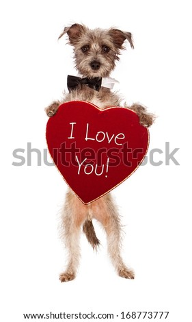 A cute male terrier mix breed dog wearing a black bow tie standing up and holding a big velvet heart shaped box of chocolates with the words I Love You.  - stock photo