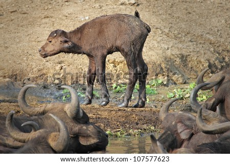 A Cute Newborn Baby African Buffalo stands for the first time on the shores of the Kazinga Channel in Uganda, Africa - stock photo