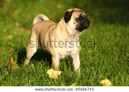 a cute nice looking pug with beautiful expression in his head - stock photo