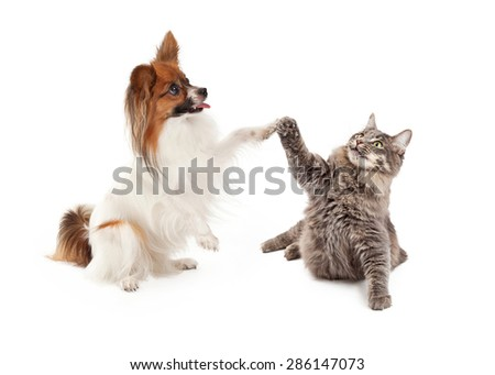 A cute Papillon dog and cat raising their paws to high five - stock photo
