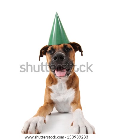 a cute pit bull boxer mix dog on an isolated white background - stock photo