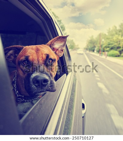 a cute pit bull boxer mix riding in a car toned with a retro vintage instagram filter effect app - stock photo
