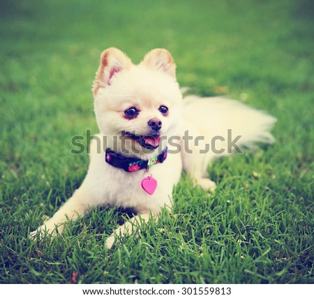 a cute pomeranian puppy dog that has been groomed smiling in a park setting with a pretty collar and tag on toned with a retro vintage instagram filter effect app or action - stock photo