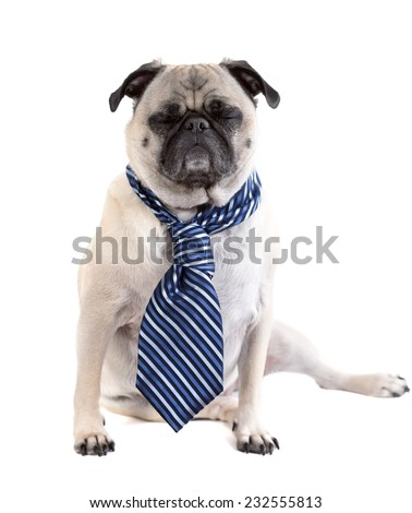 A cute pug dog wearing a business tie has its eyes closed, as if sleeping or frustrated. - stock photo