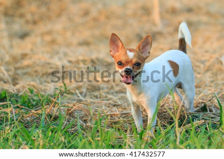 A cute puppy, dog, chihuahua, pets, animals, nature. - stock photo