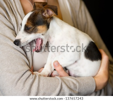 A cute puppy dog with valentine lover yawns  Jack Russell Terrier - stock photo