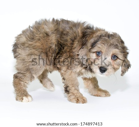 A cute puppy looking like she is saying she is sorry or guilty for something. - stock photo