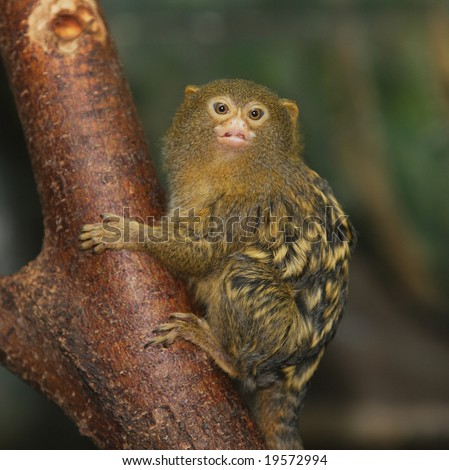 A cute pygmy marmoset holding onto the branch of a tree - stock photo