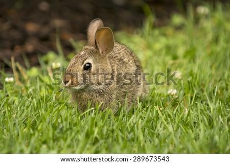 A cute rabbit munching on some fresh green grass. - stock photo