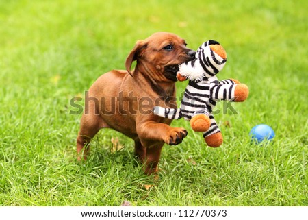 A cute Rhodesian Ridgeback Puppy is playing with a little tiger. - stock photo